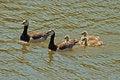 Free Geese Stock Image - 2575691
