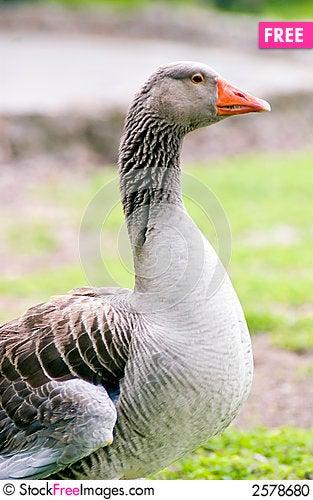 Free Orange Billed Goose Stock Photo - 2578680