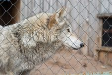 Free Gray Wolf Stock Photo - 2570820