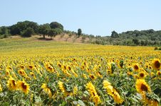 Free Sunflowers Field Stock Image - 2571001