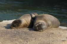Free Young Sea-lions In The Zoo Stock Image - 2571011