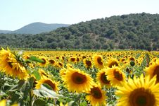 Free Big Sunflowers Royalty Free Stock Image - 2571026