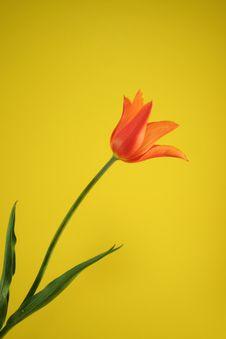 Free Orange Tulip Royalty Free Stock Photography - 2571557