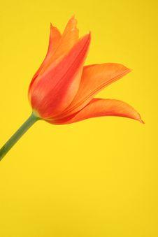 Free Orange Tulip Stock Photos - 2571653