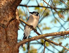 Free Blue Jay Royalty Free Stock Image - 2573126