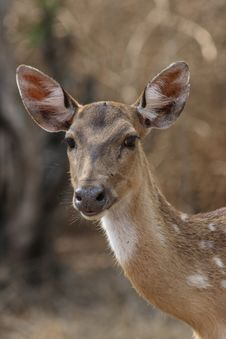 Chital Doe 4 Royalty Free Stock Images