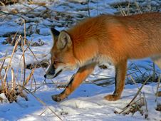 Free Red Fox 23 Royalty Free Stock Image - 2574186
