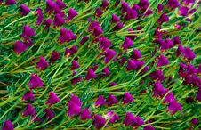 Free Pattern Of Violet Flowers Royalty Free Stock Photo - 2574205