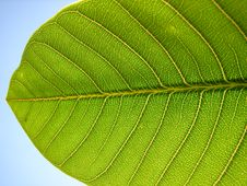 Free Leaf Detail Stock Photography - 2574272