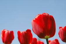 Free Red Tulips Field Royalty Free Stock Images - 2574339