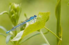 Free Blue Damselfly Stock Images - 2575524