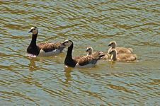 Free Geese Stock Image - 2575691