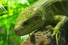 Free Lizard Stock Image - 2578651