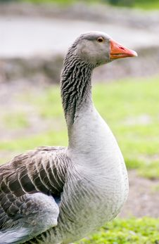Free Orange Billed Goose Stock Photo - 2578680
