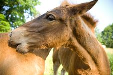 Free Young Horse Royalty Free Stock Photography - 2578707