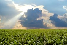 Free Corn Field During Stormy Day Royalty Free Stock Photo - 2579655