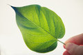 Free Green Leaf Isolated On White Background Stock Photo - 25702910