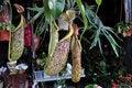 Free Pitcher Plant Royalty Free Stock Photo - 25705915