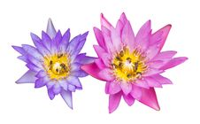 Isolates Of The Pink And Purple Lilies. Royalty Free Stock Photography