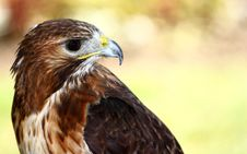 Free Red-tailed Hawk &x28;Buteo Jamaicensis&x29; Stock Photography - 25700962