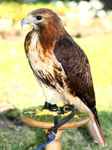 Free Red-tailed Hawk &x28;Buteo Jamaicensis&x29; Royalty Free Stock Images - 25700989