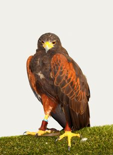Free Harris  Hawk &x28;Parabuteo Unicinctus&x29; Stock Image - 25701001