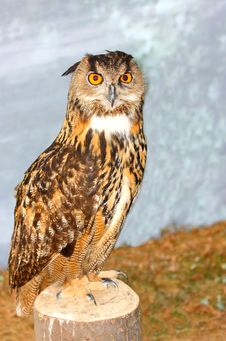 Eurasian Eagle Owl Bubo Bubo Royalty Free Stock Images