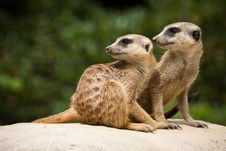 Free Meerkats Stock Photography - 25702292