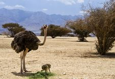 Free African Ostrich In Nature Reserve, Israel Stock Photos - 25706273