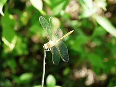 Free Dragonfly. Stock Image - 25708111