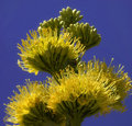 Free Yucca Flower Stock Image - 25711311