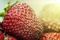 Free Strawberry Royalty Free Stock Photo - 25716805