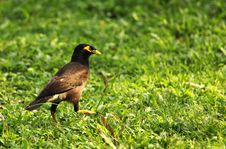 Free Myna Royalty Free Stock Photography - 25713237