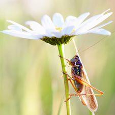 Locust On A Camomile Stock Image