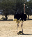 Free African Ostrich &x28;Struthio Camelus&x29; With Chick Royalty Free Stock Photos - 25721818