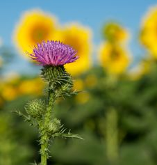 Free Thistle. Royalty Free Stock Image - 25721396