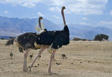 African Ostrich &x28;Struthio Camelus&x29; With Chick Royalty Free Stock Images