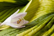 Free Hosta Blossom Royalty Free Stock Image - 25722626