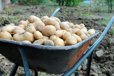 Free Organic Potatoes Into A Wheel Barrow Stock Image - 25724531