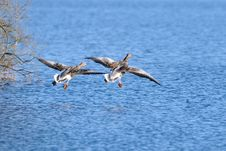 Free Greylag Goose Ready For Landing Stock Images - 25725484