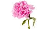 Free Pink Peony Royalty Free Stock Image - 25737136