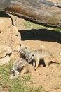 Free Meerkat. Stock Photos - 25738013