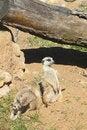 Free Meerkat. Royalty Free Stock Photos - 25738038