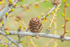 Free Spring Time In Larch Forest Stock Photography - 25733632