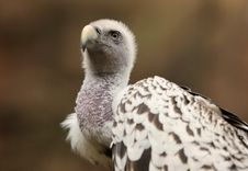 Free Griffon Vulture Royalty Free Stock Photo - 25734355
