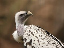 Free Griffon Vulture Stock Photography - 25734382