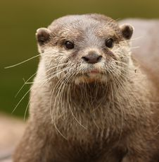 Oriental Short-Clawed Otter Royalty Free Stock Photography