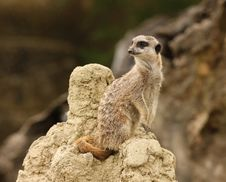Free Meerkat Stock Photos - 25734523