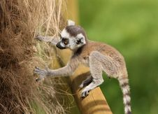 Free Baby Ring-Tailed Lemur Royalty Free Stock Image - 25734696