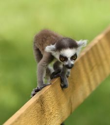 Baby Ring-Tailed Lemur Stock Photo